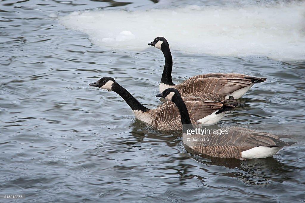 Canadian geese : ストックフォト