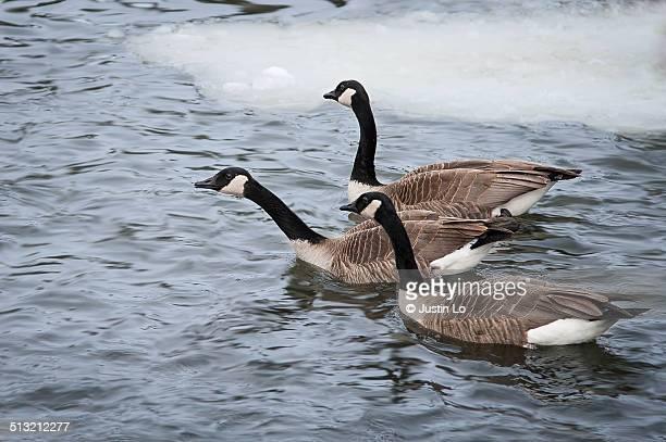 canadian geese - マーカム ストックフォトと画像