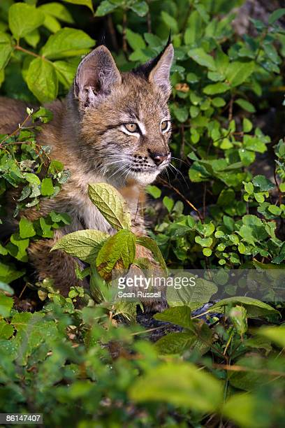 canadian lynx amongst bushes - hairy bush stock pictures, royalty-free photos & images