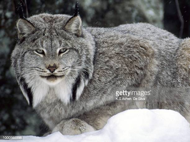 canadian lynx canada - canadian lynx stock pictures, royalty-free photos & images