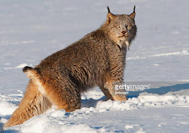 Canadian lynx crossing a snowy wilderness.