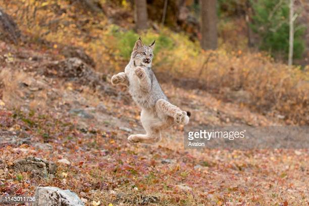 Canadian Lynx cub jumping in air in failed attempt to catch flying bird Montana USA October controlled subject