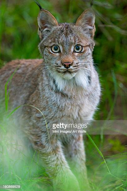 canadian lynx, felis canadensis in katmai national park, alaska. - canadian lynx stock pictures, royalty-free photos & images