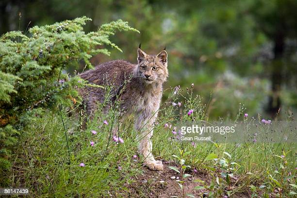 canadian lynx in a forest, montana, usa - canadian lynx stock pictures, royalty-free photos & images