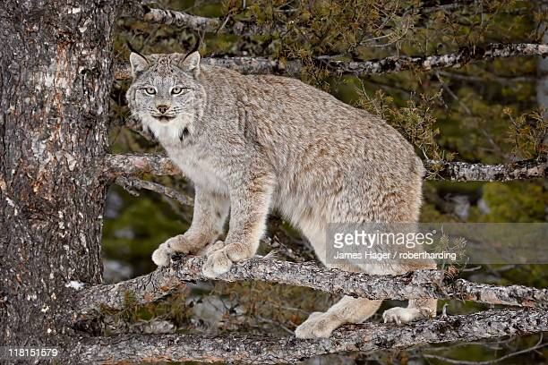 canadian lynx (lynx canadensis) in a tree, in captivity, near bozeman, montana, united states of america, north america - canadian lynx stock pictures, royalty-free photos & images