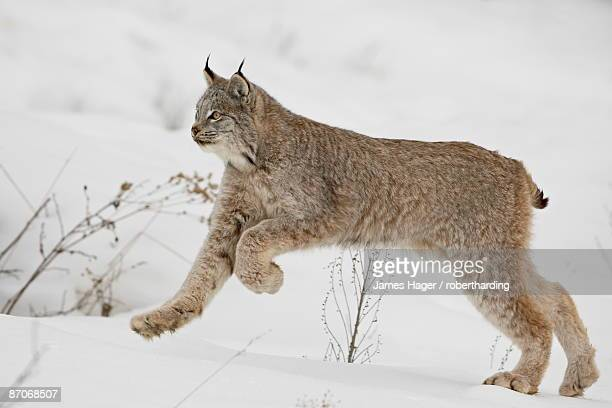 canadian lynx (lynx canadensis) in snow, near bozeman, montana, united states of america, north america - canadian lynx stock pictures, royalty-free photos & images