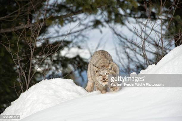 canadian lynx in snow - canadian lynx stock pictures, royalty-free photos & images