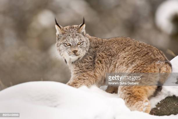 canadian lynx is angry. - canadian lynx stock pictures, royalty-free photos & images
