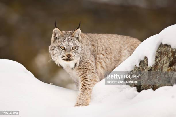 canadian lynx is leaving its hiding spot. - canadian lynx stock pictures, royalty-free photos & images
