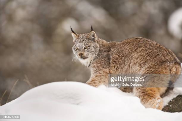 canadian lynx is standing on the snowy ground and looking to the left. - canadian lynx stock pictures, royalty-free photos & images