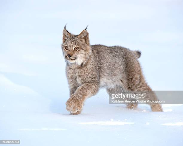 Canadian Lynx Kitten in Winter