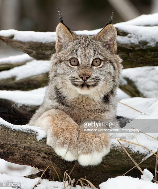 Canadian lynx kitten portrait