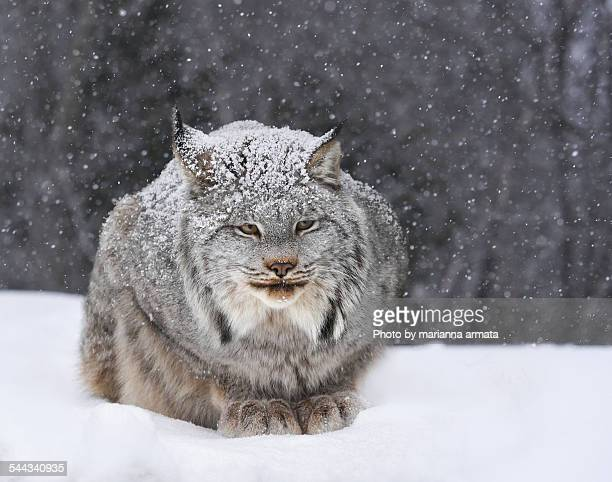 canadian lynx - canadian lynx stock pictures, royalty-free photos & images