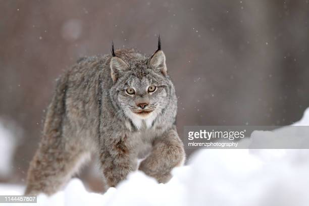 canadian lynx & snow - canadian lynx stock pictures, royalty-free photos & images