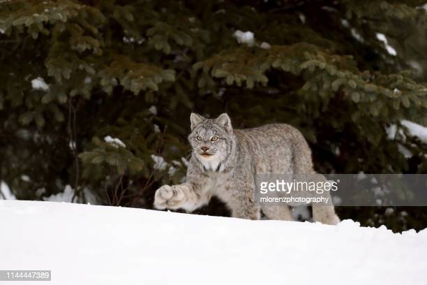canadian lynx walking - canadian lynx stock pictures, royalty-free photos & images