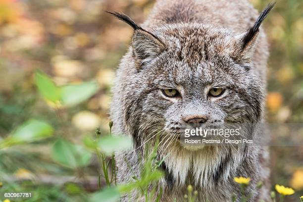 canadian lynx (lynx canadensis) walking through the underbrush - canadian lynx stock pictures, royalty-free photos & images