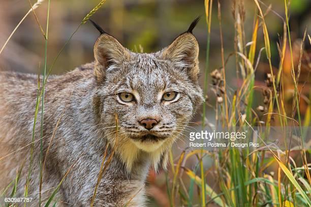 Canadian Lynx (Lynx canadensis) walking through the underbrush
