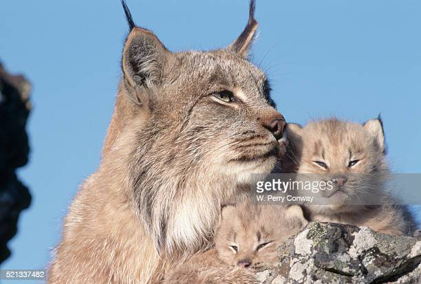 canadian lynx with young - canadian lynx stock pictures, royalty-free photos & images