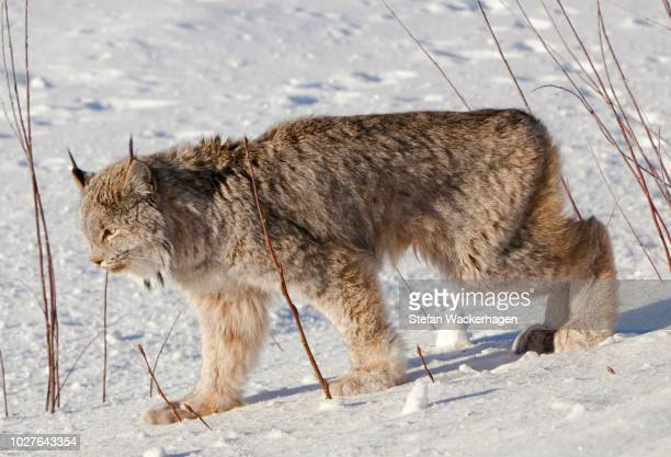 canadian lynx (lynx canadensis), yukon territory, canada - vista lateral stock pictures, royalty-free photos & images
