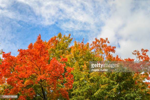 canadian maple tree fall foliage in montreal, quebec - four seasons stock pictures, royalty-free photos & images
