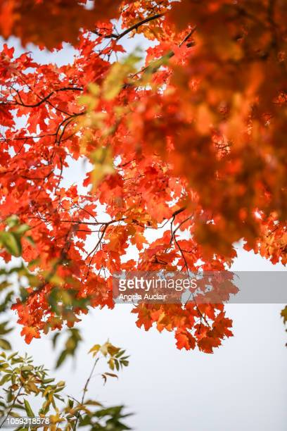 Canadian Maple Tree Fall Foliage in Montreal, Quebec