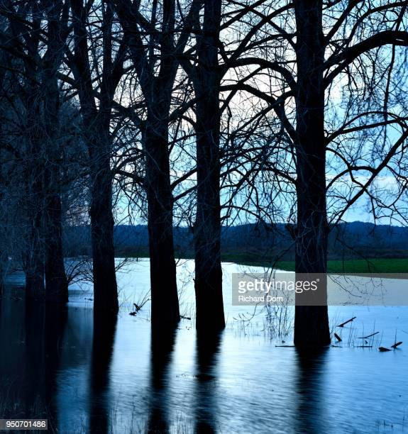 canadian poplars (populus x canadensis), flooding, bislicher insel, xanten, north rhine-westphalia, germany - insel stock pictures, royalty-free photos & images
