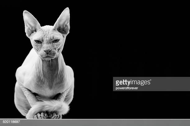 canadian sphinx hairless cat - male animal stock pictures, royalty-free photos & images