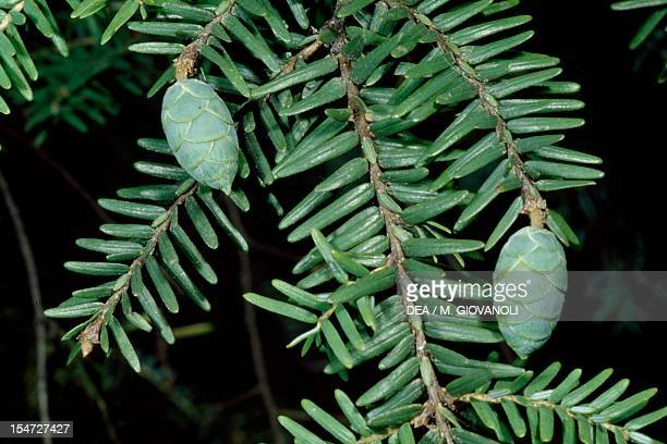 Canadian Spruce branch with cones Pinaceae
