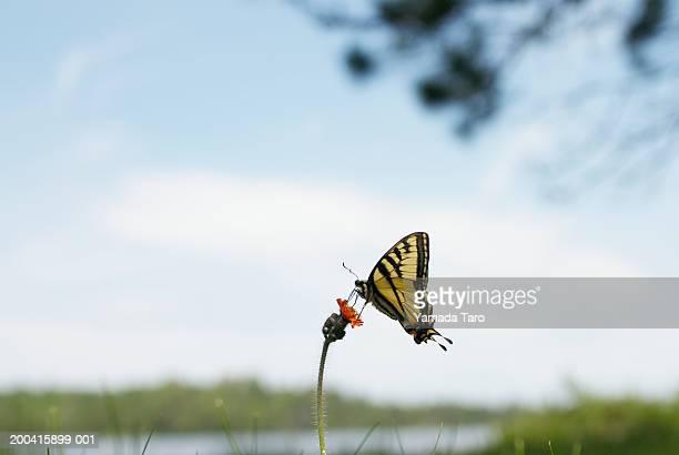 canadian tiger swallowtail (papilio canadensis) butterfly on flower - farfalla a coda di rondine foto e immagini stock