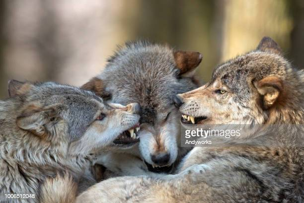 canadian timber wolf discussion - wild dog stock pictures, royalty-free photos & images