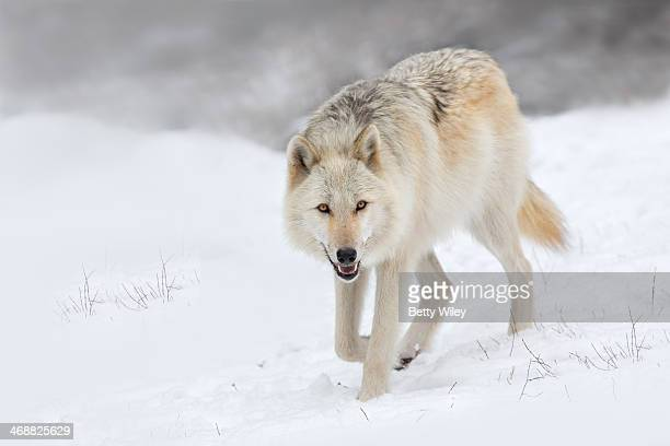 Canadian/rocky mountain grey wolf
