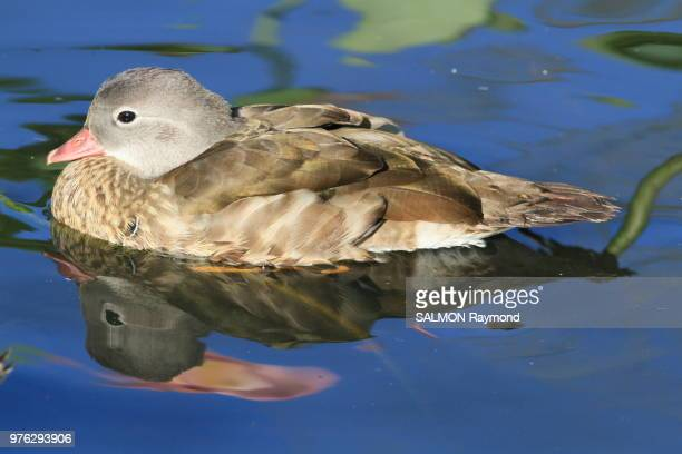 canard et poisson rouge - poisson stock photos and pictures