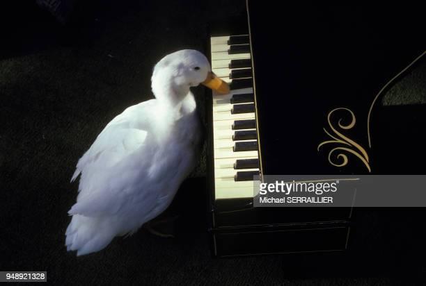 Canard jouant du piano dans le Cypress Gardens Adventure Park, en décembre 1982, à Winter Haven en Floride, Etats-Unis.
