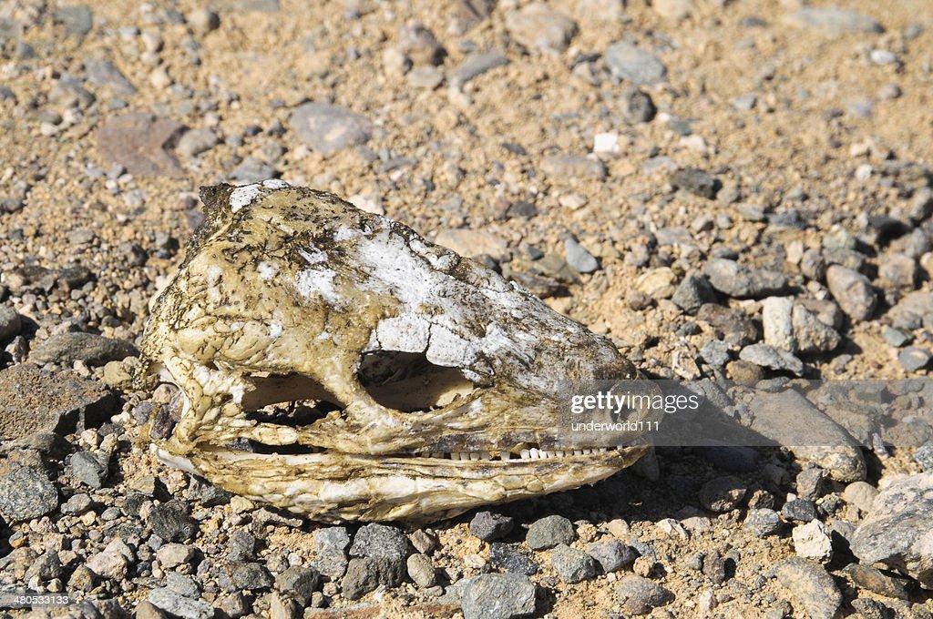 Canarian Dry Lizard Skull : Stock Photo