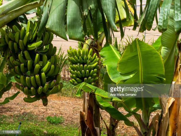 canary banana trees - banana tree stock pictures, royalty-free photos & images