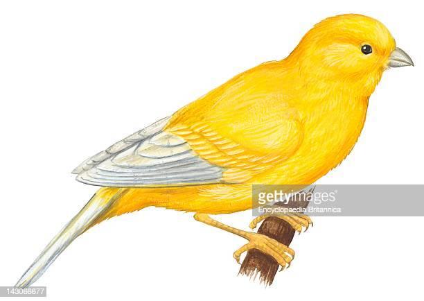 Canary Bird Canary Bird
