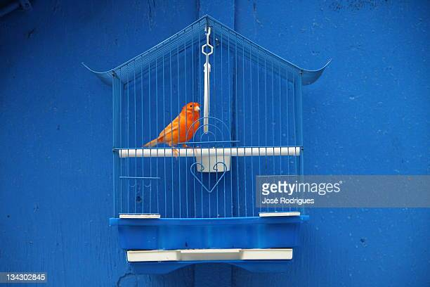Canary bird in cage against blue wall
