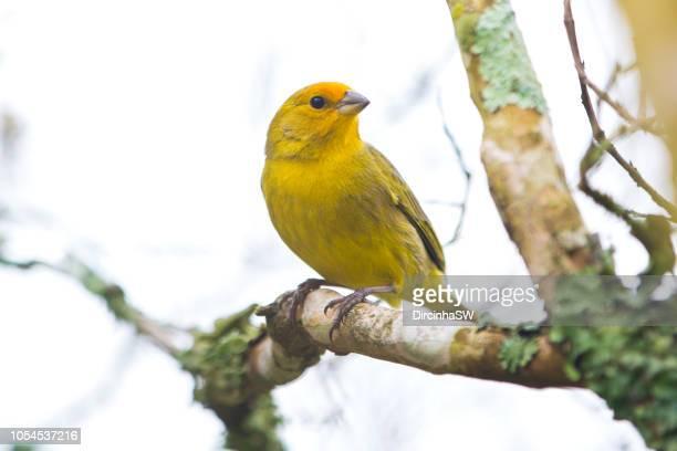 Canary bird , Rio Grande do sul, Brasil.