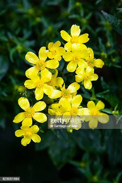 canary buttercup (ranunculus cortusifolius) - buttercup stock pictures, royalty-free photos & images