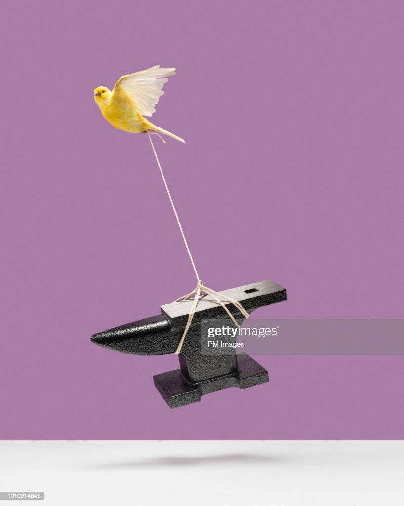 Canary carrying an anvil : Stock Photo