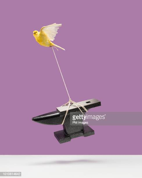 canary carrying an anvil - burden stock pictures, royalty-free photos & images
