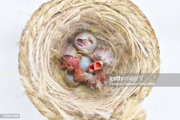 Canary chicks (Canaria sp.) in nest, overhead view