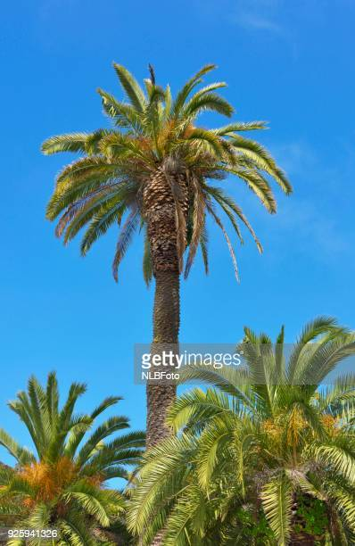 Canary date palm (Phoenix canariensis), Golden Gate Park, San Francisco, California, USA