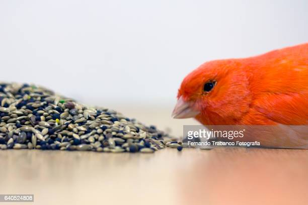 canary eating Birdseed and other bird seed (elevated view)