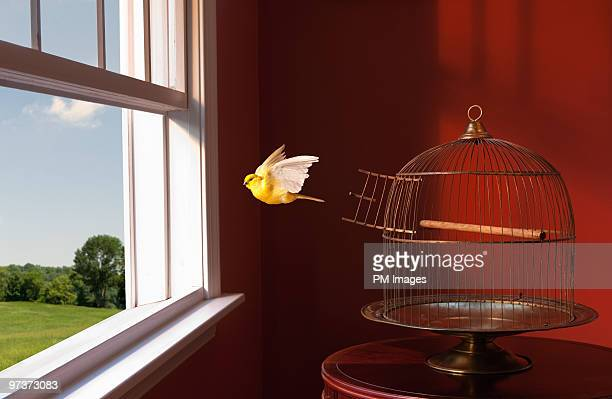 canary escaping cage, flying toward open window - freedom stock pictures, royalty-free photos & images