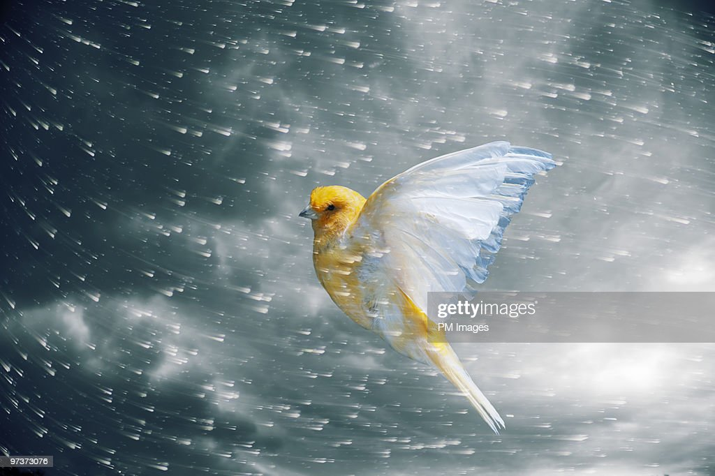 Canary flying in storm : Stock Photo