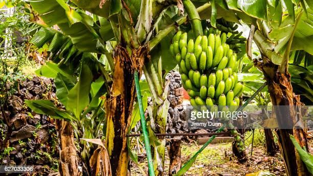 Canary Island Banana