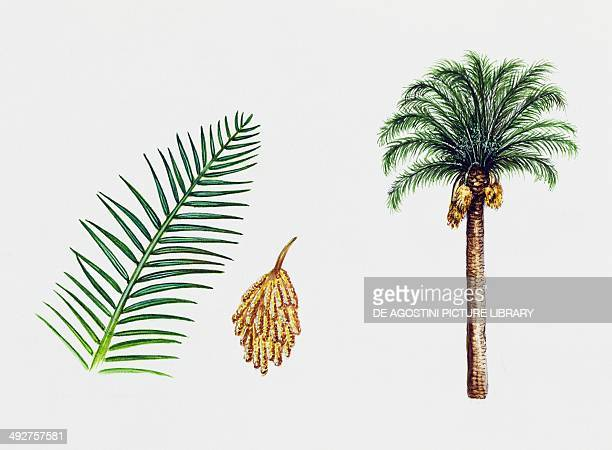 Canary island date palm Arecaceae tree leaf and flowers illustration