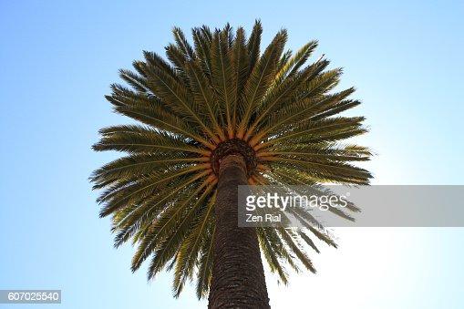 canary island date palm pineapple palm palmera canaria. Black Bedroom Furniture Sets. Home Design Ideas