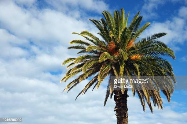 canary island date palm tree (phoenix canariensis) on the esplanade in st kilda, melbourne, victoria, australia - date palm tree stock pictures, royalty-free photos & images